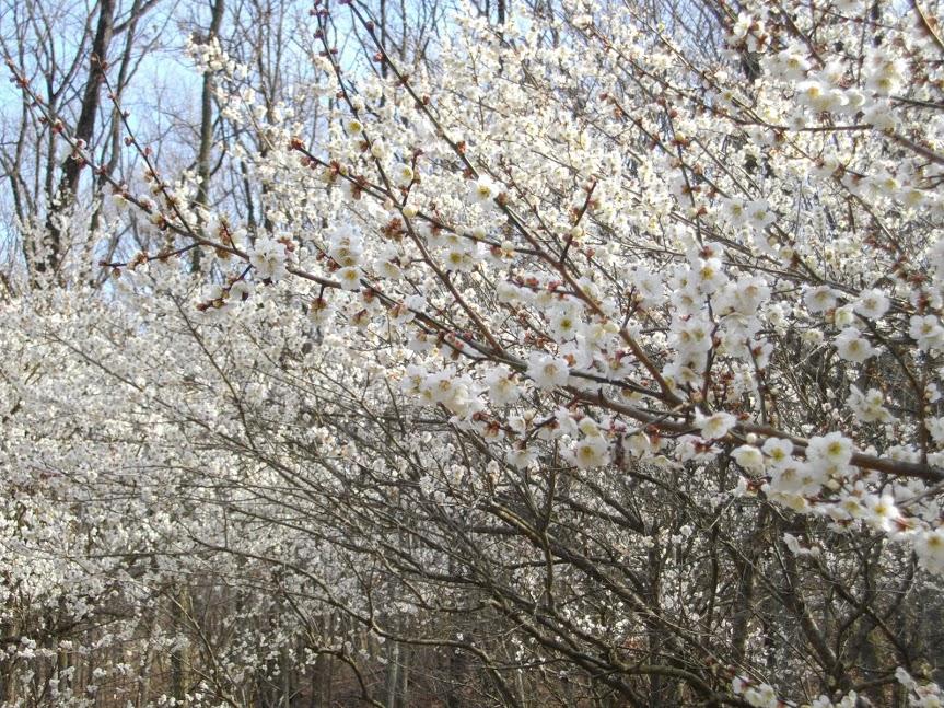 梅の花と梅の実で若返る その美容・健康効果